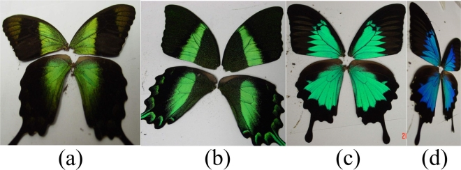 The wings of the three types of butterflies under study