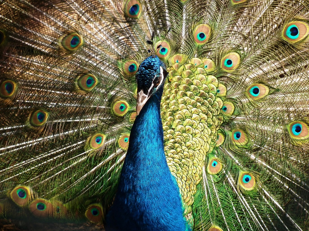 A peacock's feathers are pigmented brown but a nanoscale network reflects light to imbue the feathers with vibrant colors