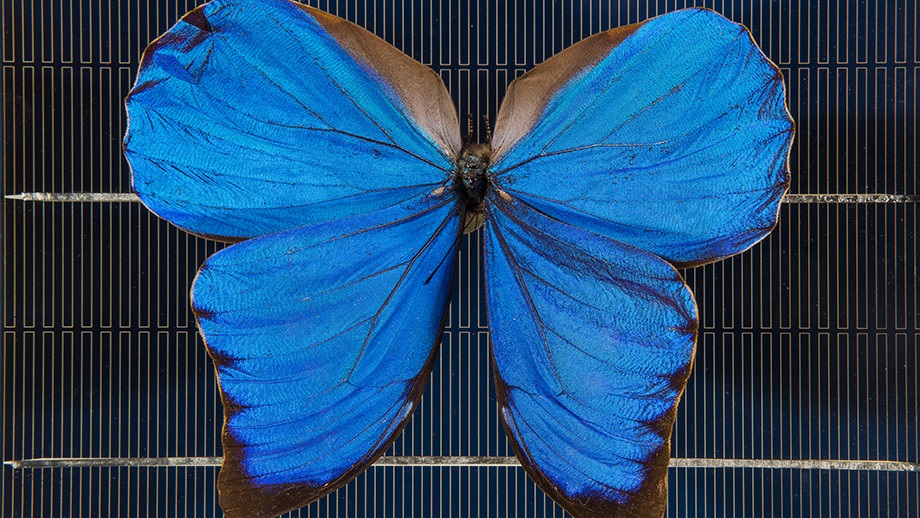 A blue Morpho butterfly on a solar cell