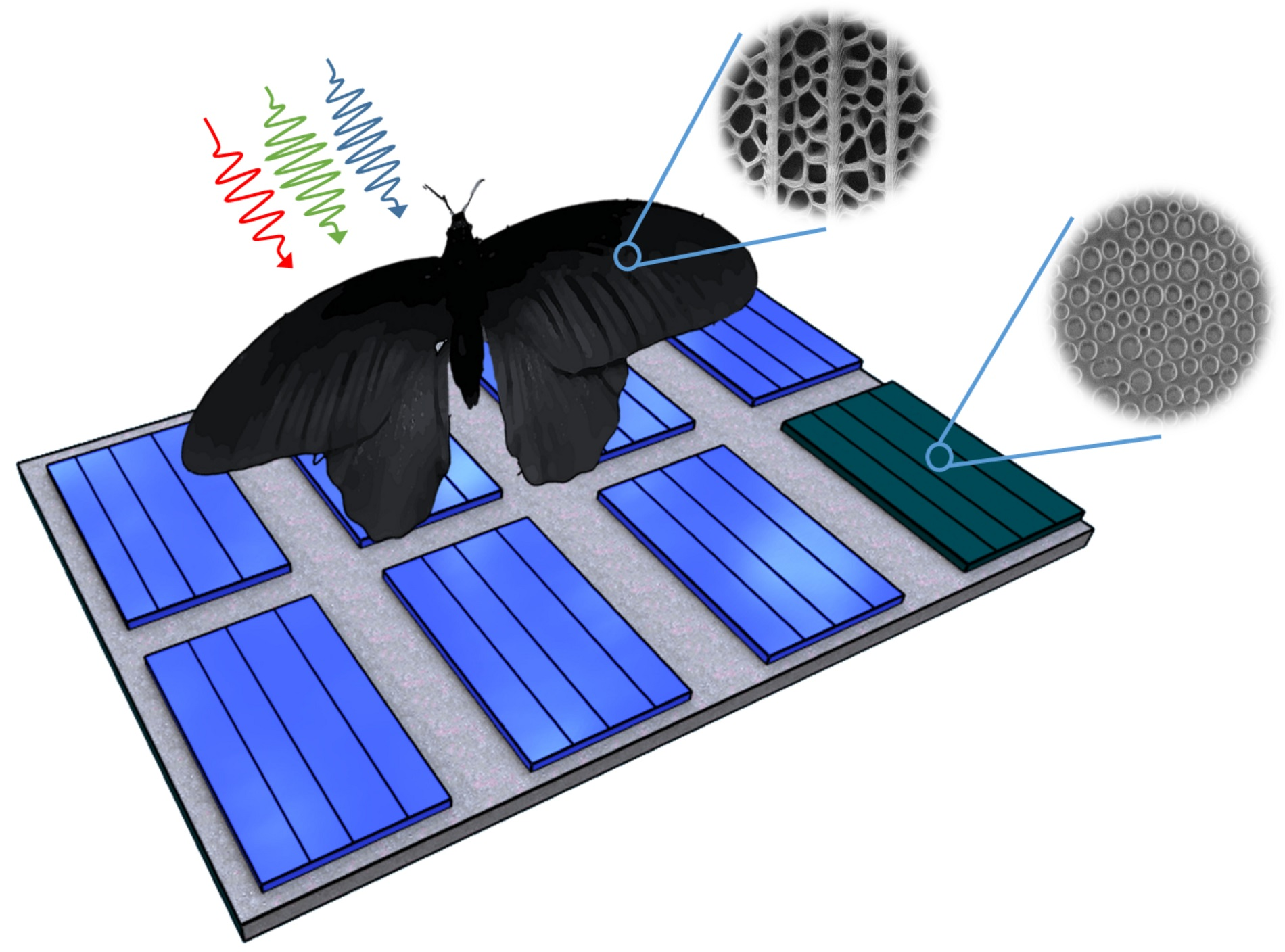 Nanostructures of the wing of Pachliopta aristolochiae can be transferred to solar cells and enhance their absorption rates by up to 200 percent